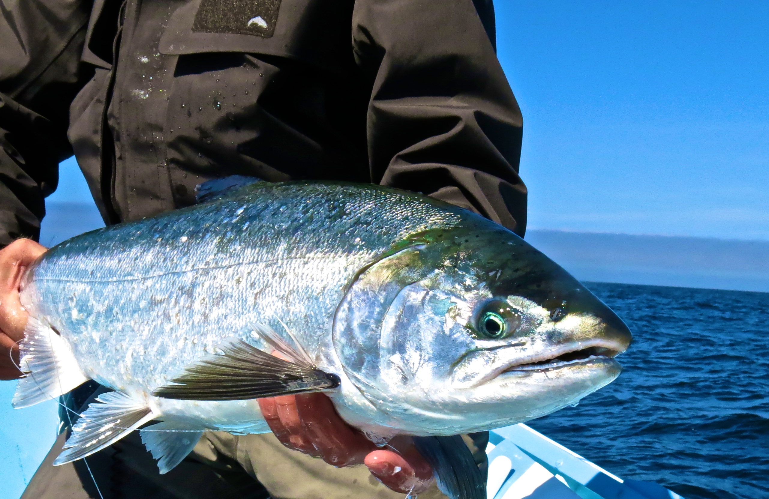 Fly fishing the ocean offshore oregon the caddis fly for Saltwater fly fishing