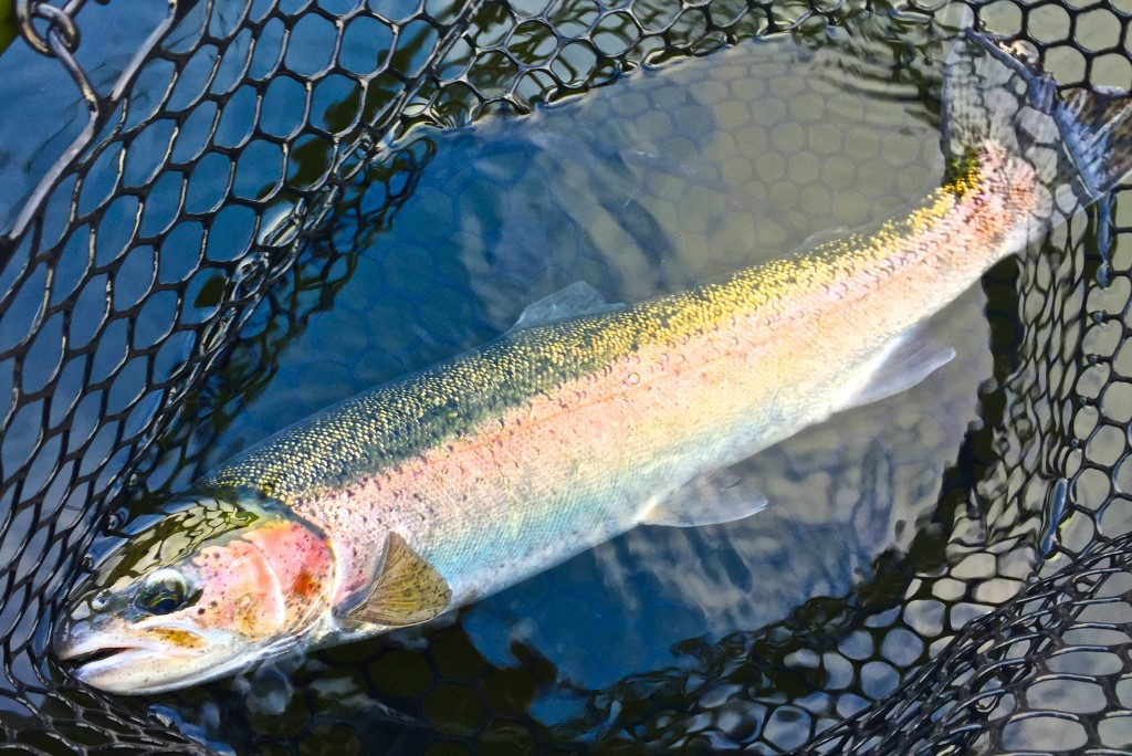 Town lake fishing report december 2013 the caddis fly for Oregon fish stocking schedule
