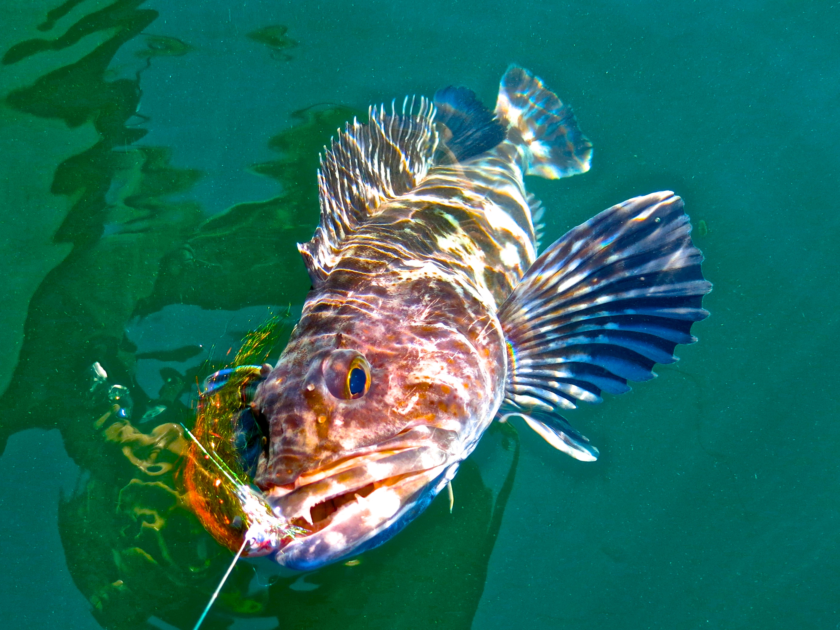 Update on pacific city lingcod fly fishing march 10 2015 for Deep sea fishing oregon coast
