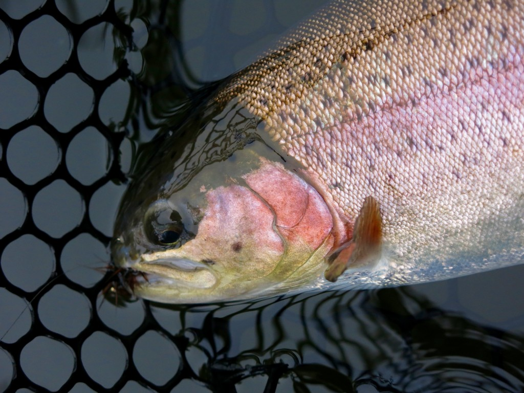 Nice Hatchery rainbow trout - a reminder of the days when I find the metal leader eyelet on my fly line.