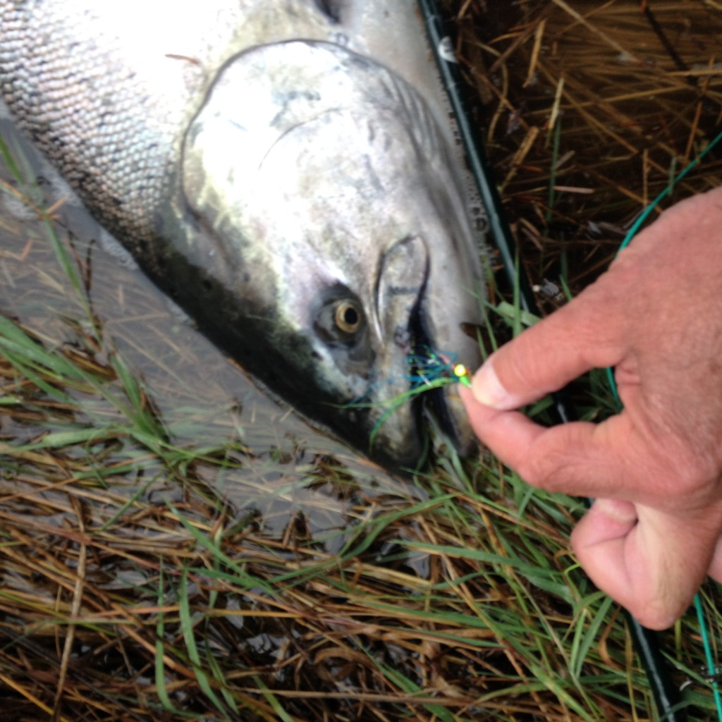 Sometimes you get lucky - really lucky. This salmon was held by the thread of skin shown here, and it is a wonder that the fish made it into the net. My thanks for this great gift born of humans and nature.