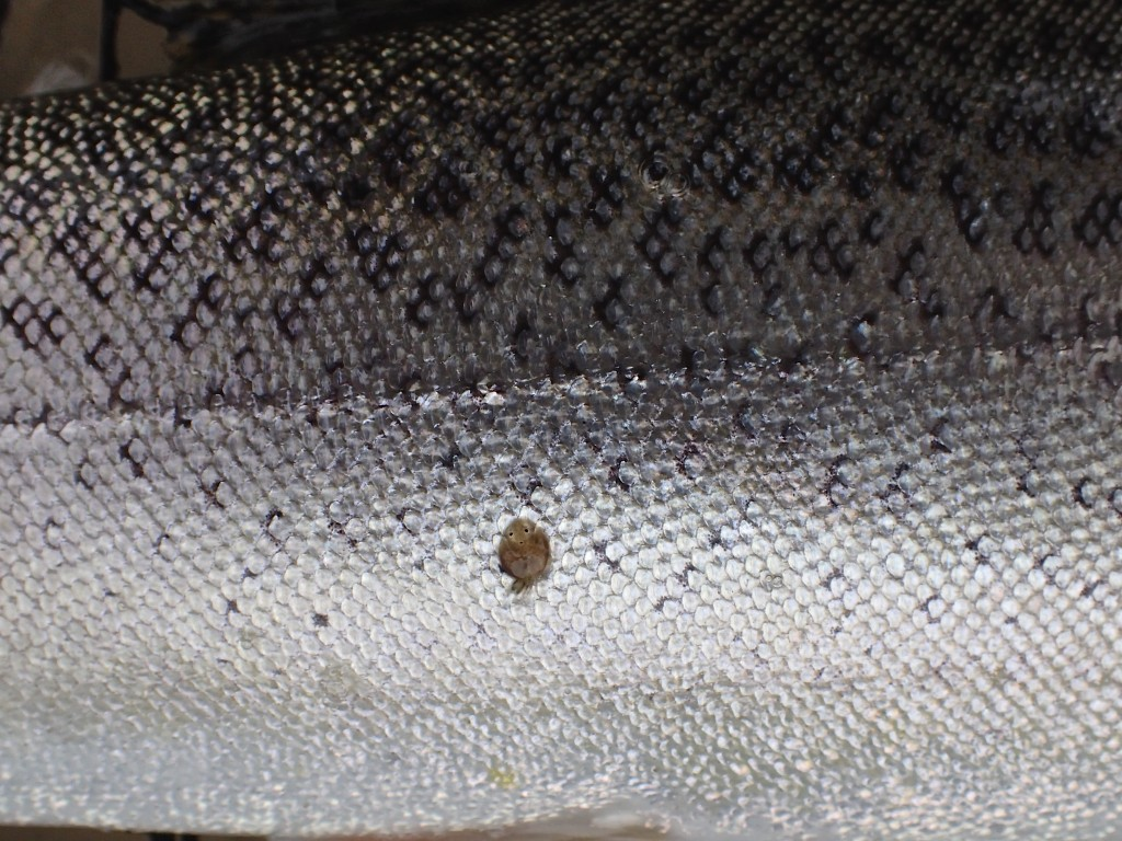 This is a different type of sea lice that is mobile and only found on fish (this on a cutthroat) that are hours from the ocean. These small sea lice are darker and very mobile and not found at the base of the anal fin like the larger lice shown in a previous photo.