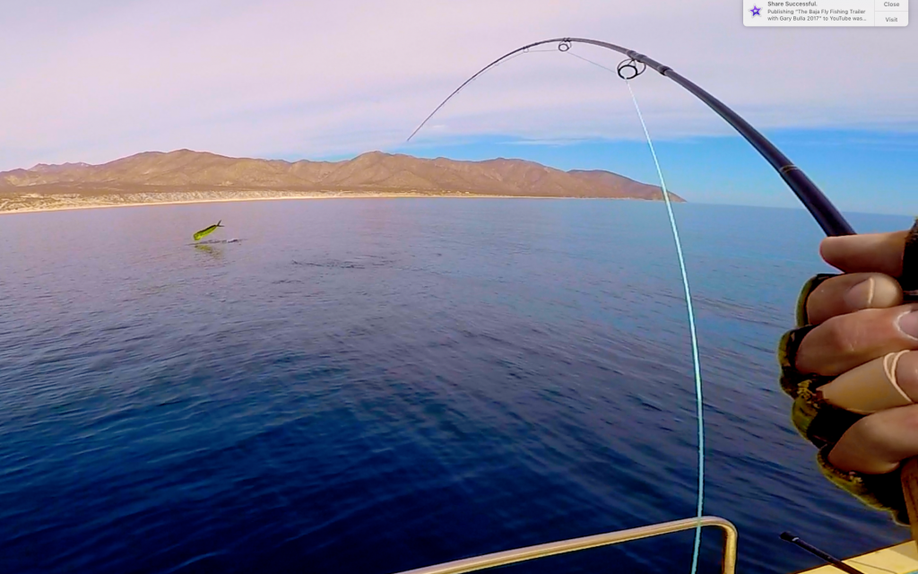 A big dorado gets air time on the ECHO EPR fly rod.