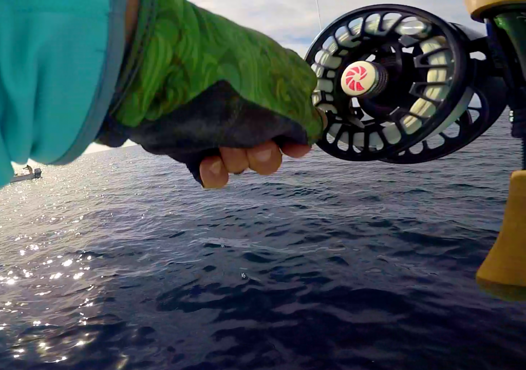 Here is one of my Nautilus fly reels in action offshore Baja recently - with skipjack on the end of my line.