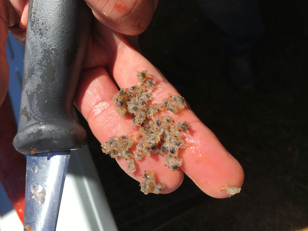 Crab Spawn from the stomach of a hatchery coho caught in the ocean off Pacific City in July 2017.