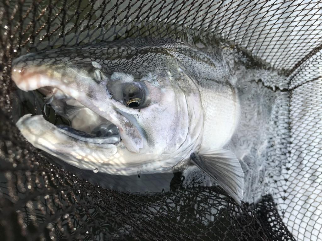 Coho salmon: white gum line.